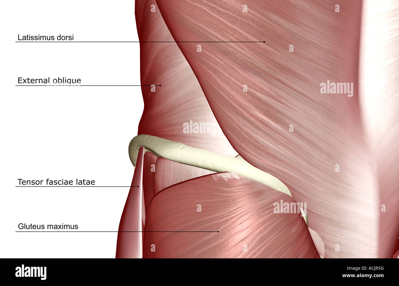 Muscles Of The Lower Back Stock Photos Muscles Of The Lower Back