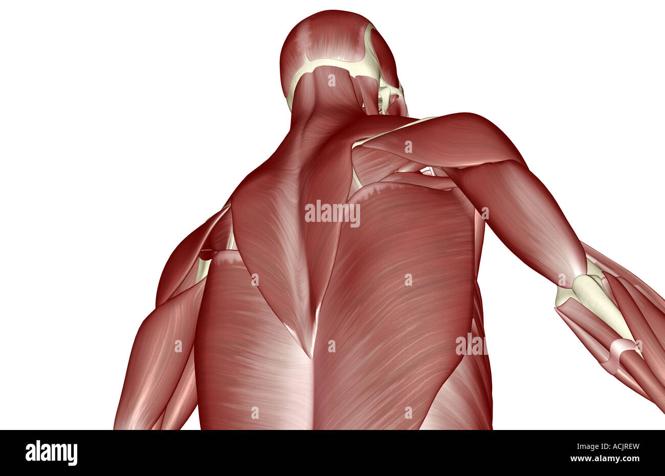 The muscles of the upper body Stock Photo: 13172832 - Alamy