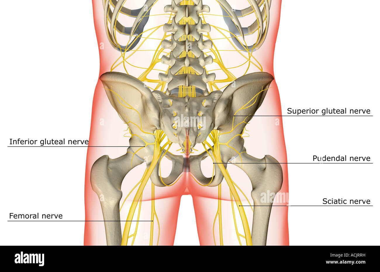 The nerves of the lower body Stock Photo: 13172932 - Alamy