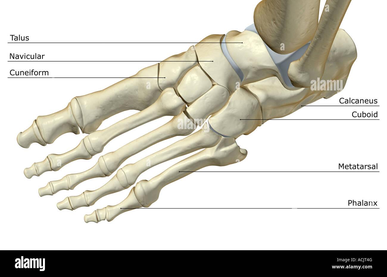 The Bones Of The Foot Stock Photo Alamy