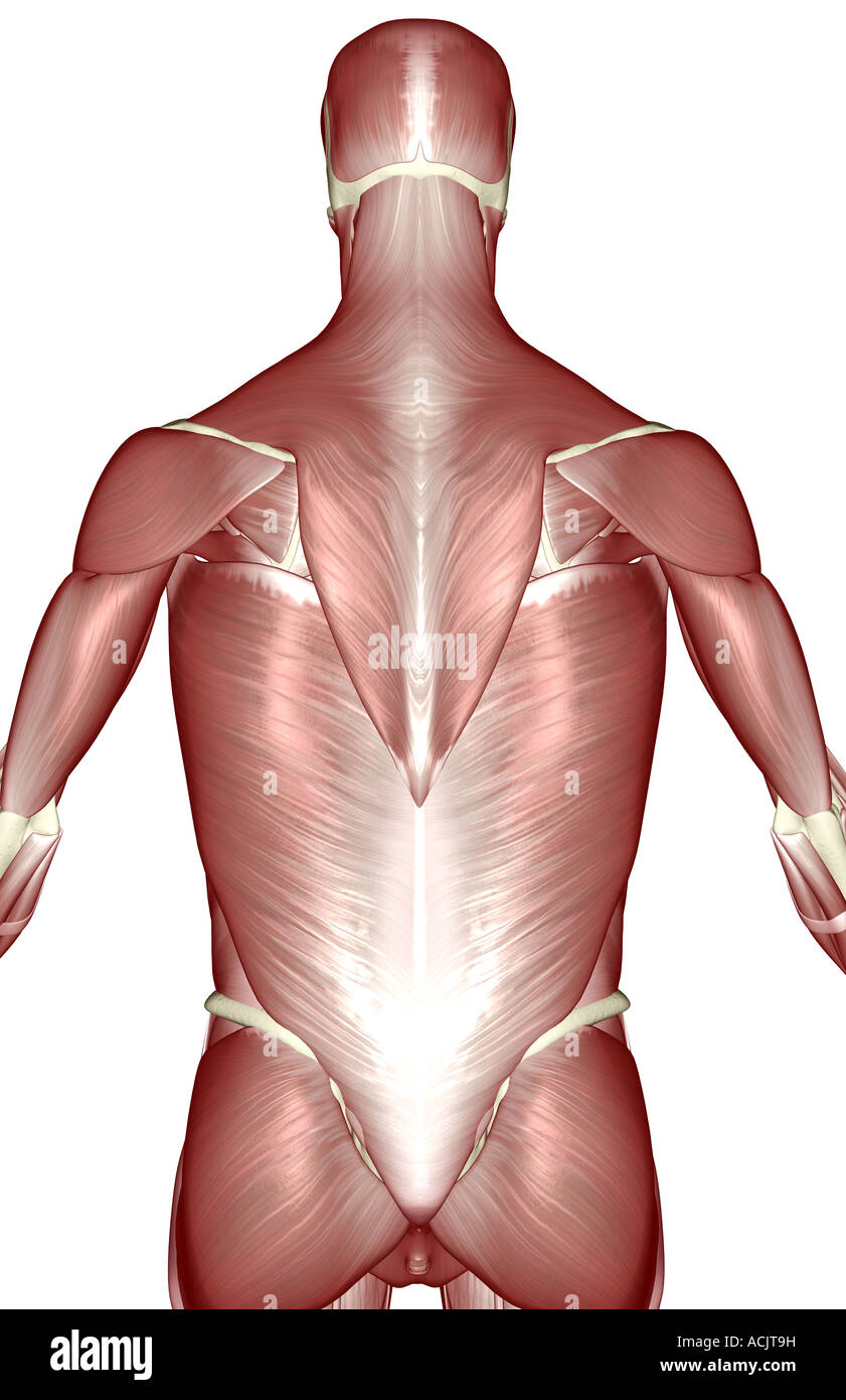The Muscles Of The Upper Body Stock Photo 13173100 Alamy
