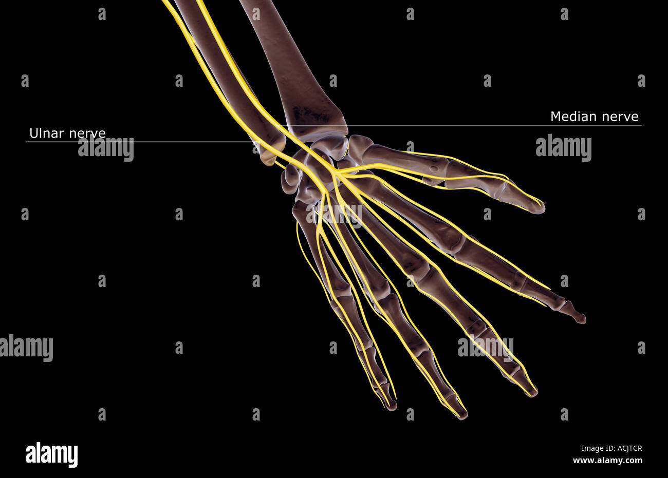 The nerves of the hand Stock Photo: 13173142 - Alamy