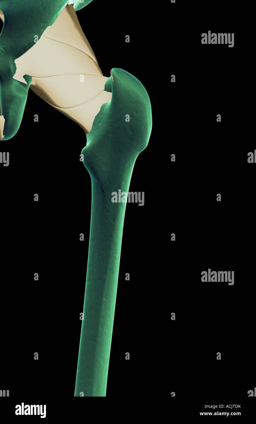 Ischiofemoral Ligament Stock Photos Ischiofemoral Ligament Stock