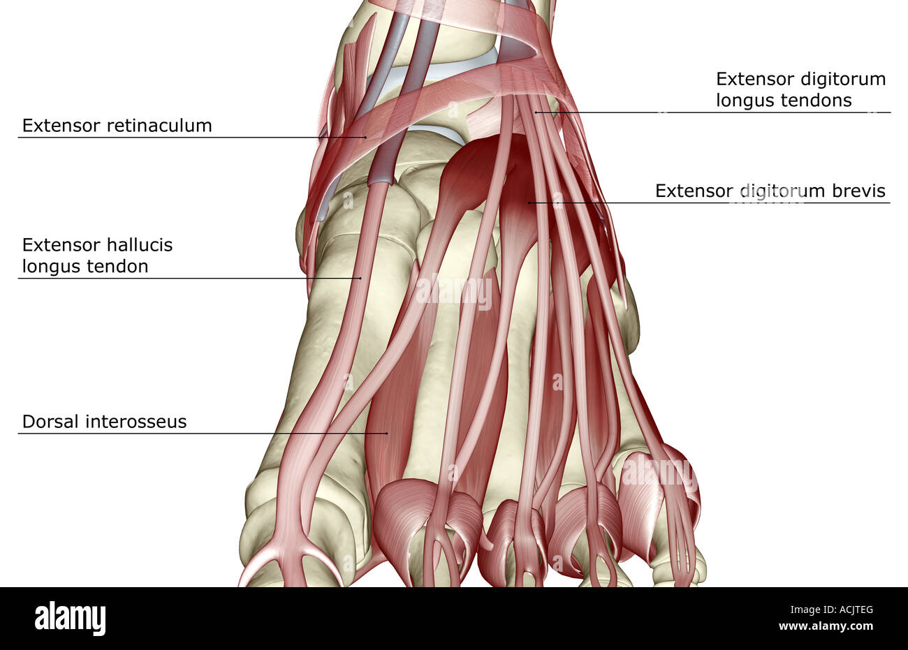 The Muscles Of The Foot Stock Photo 13173159 Alamy