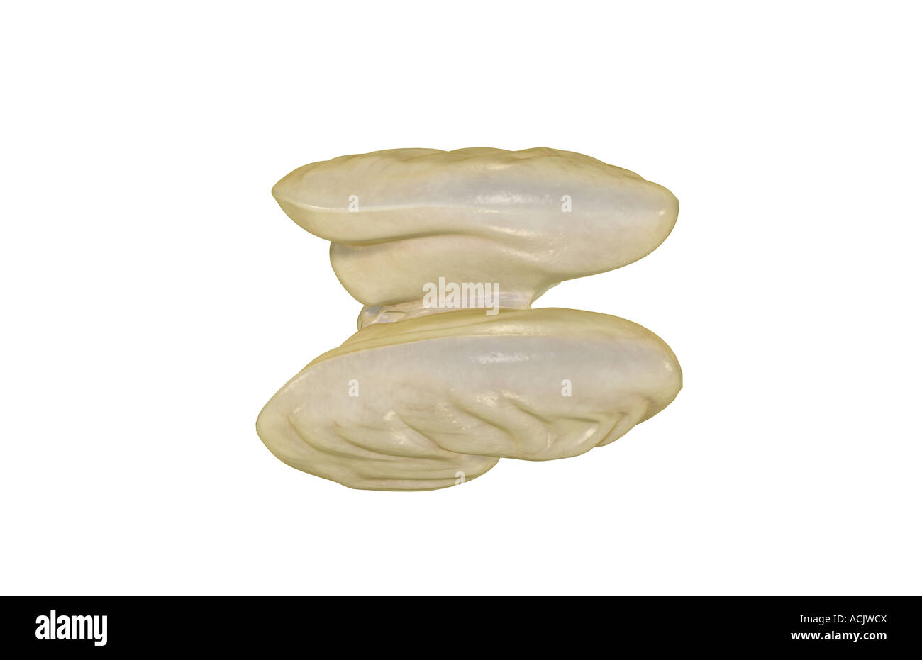 The brainstem - Stock Image