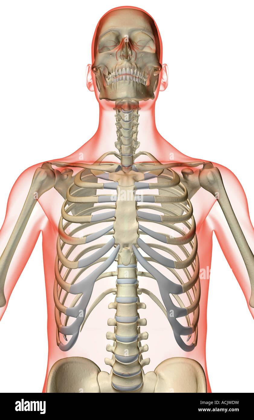 The Bones Of The Upper Body Stock Photo 13173492 Alamy