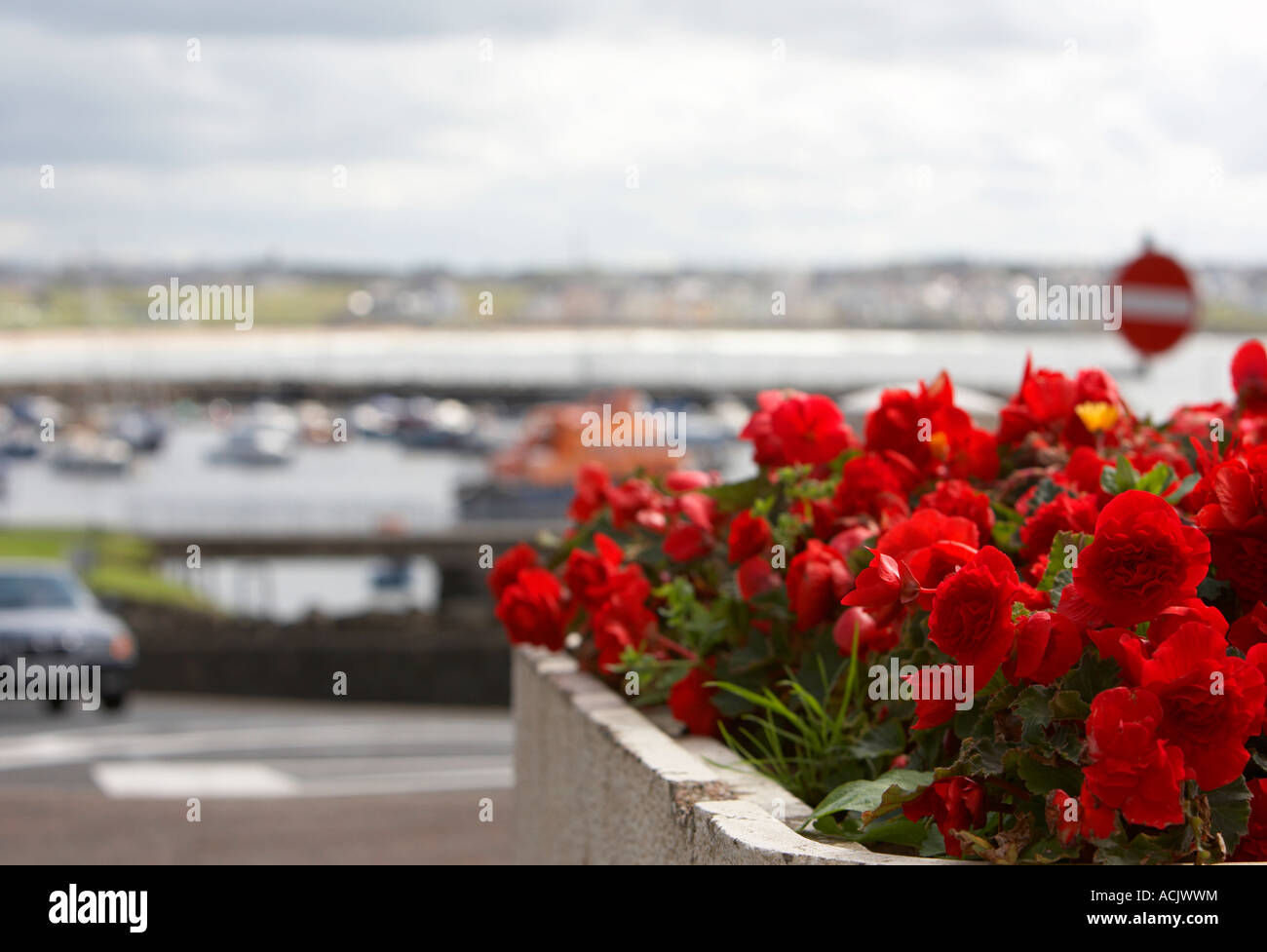 red carnation flowerbed on hill overlooking portstewart - Stock Image