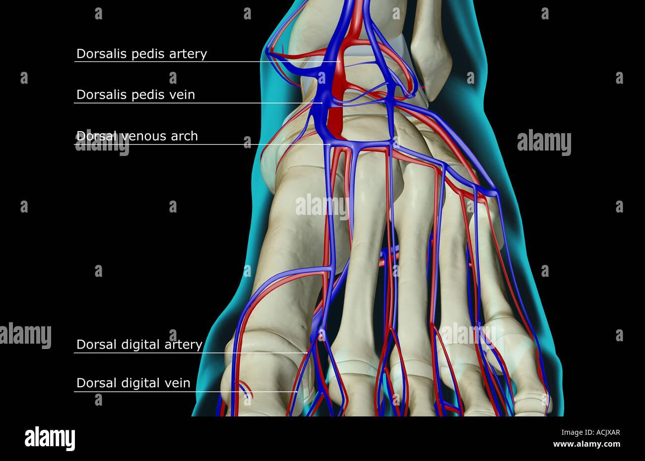 Dorsal Venous Arch Stock Photos Dorsal Venous Arch Stock Images