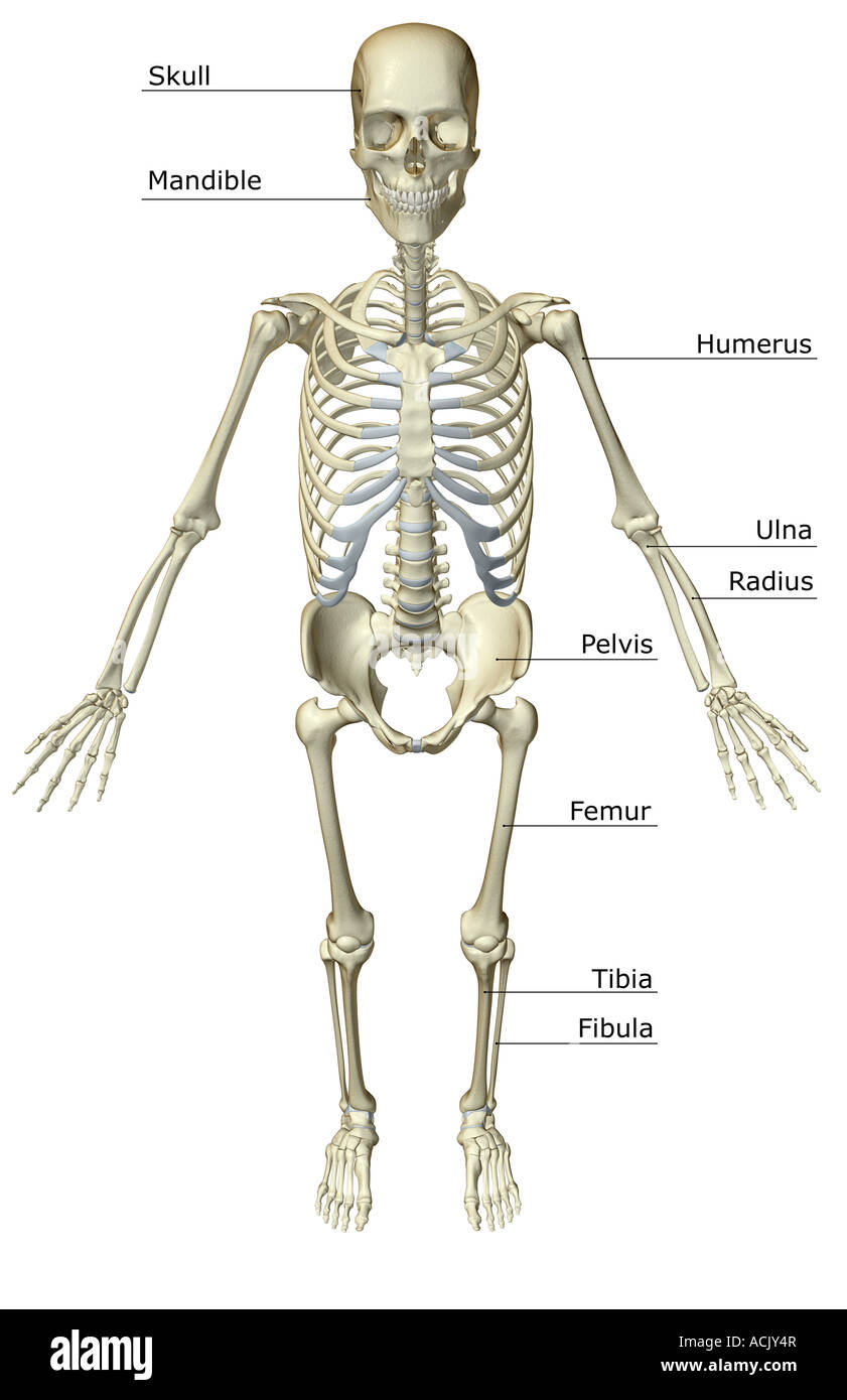 The Skeletal System Stock Photo 13174054 Alamy