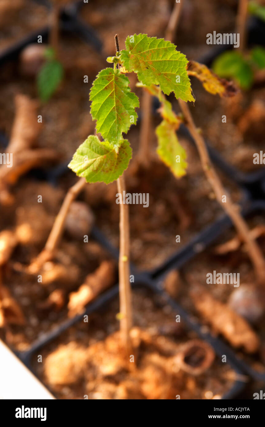 Young plants in the nursery that have been seeded with truffles spores and that will be planted and produce truffles. Stock Photo
