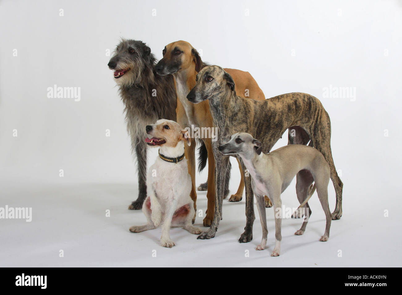 Sloughis Scottish Deerhound Whippet and Parson Russell Terrier Stock Photo