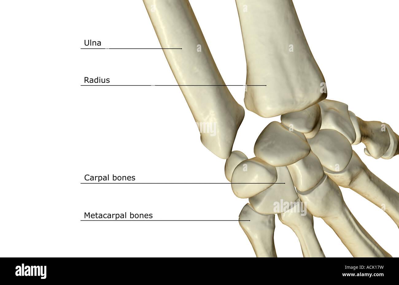 Wrist Bones Stock Photos & Wrist Bones Stock Images - Alamy