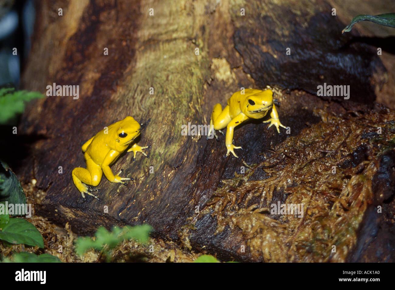 golden poison dart frogs phyllobates terribilis jersey zoo uk stock