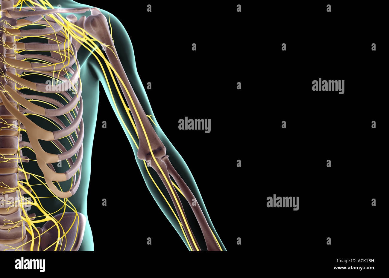 The nerves of the upper limb Stock Photo: 13174804 - Alamy