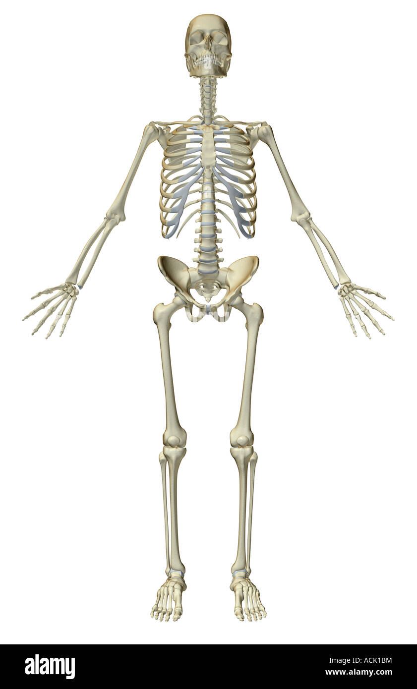 The Skeletal System Stock Photo 13174807 Alamy