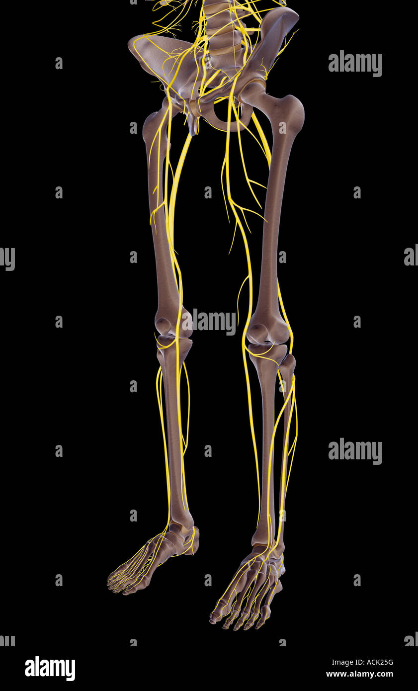 The Nerves Of The Lower Body Stock Photo 13175067 Alamy