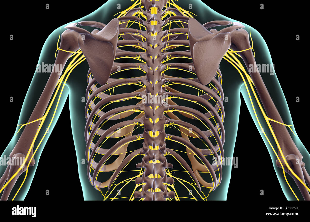 The nerves of the upper body Stock Photo: 13175080 - Alamy