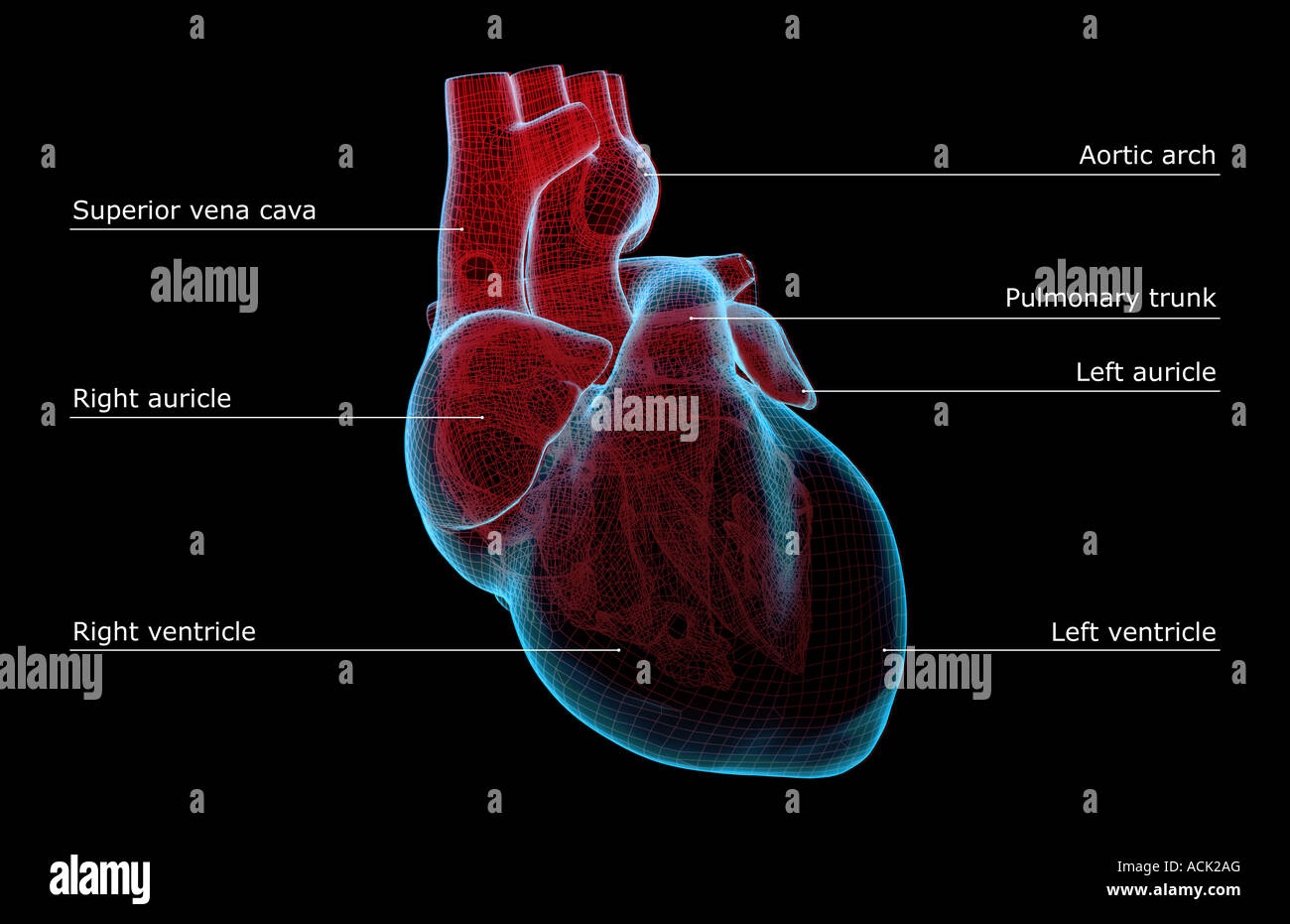 Illustration Right Auricle Ventricle Heart Stock Photos
