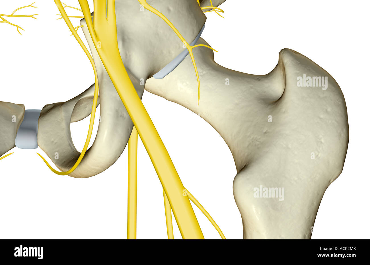 The nerves of the hip Stock Photo: 13175257 - Alamy