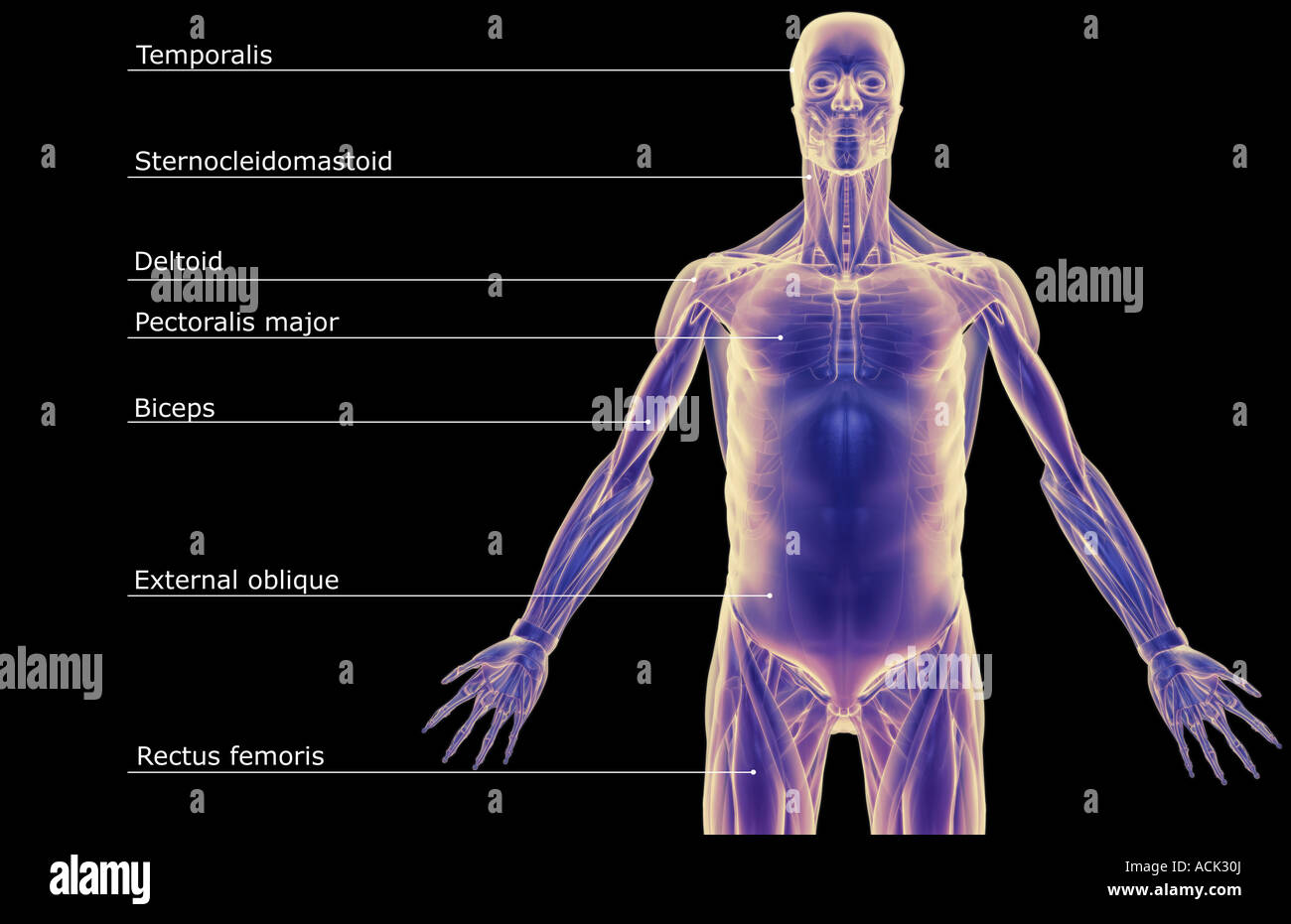 The muscles of the upper body Stock Photo: 13175345 - Alamy