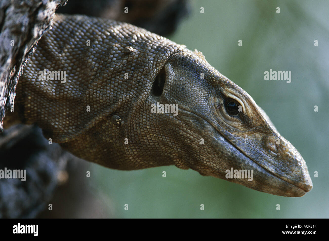 Bengal monitor lizard head portrait Varanus benghalensis Keoladeo Ghana NP India Stock Photo