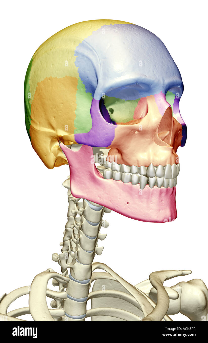 Facial Bones Anatomy Stock Photos Facial Bones Anatomy Stock