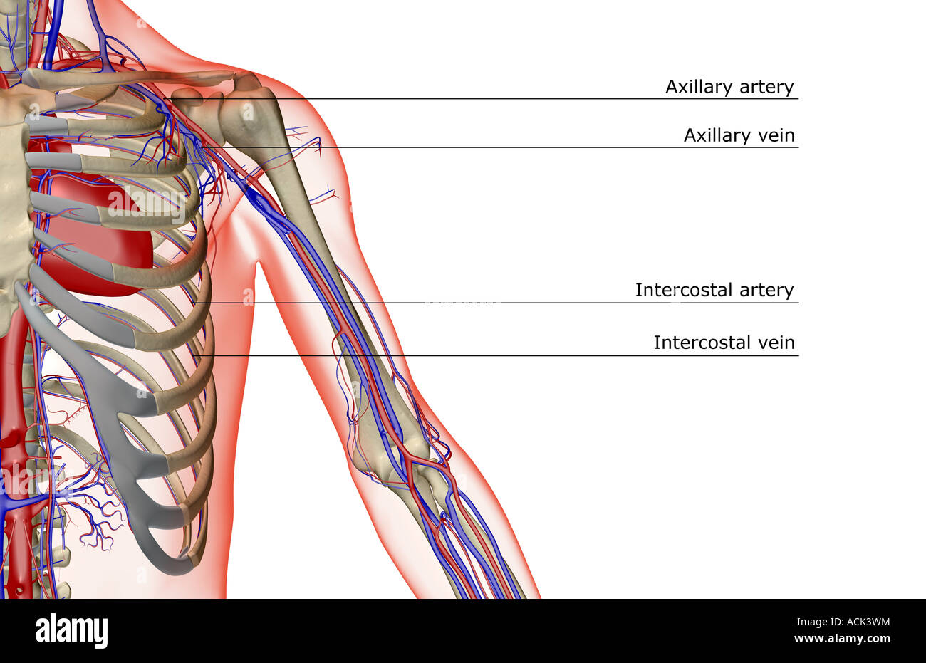 The blood supply of the shoulder and upper arm Stock Photo: 13175647 ...
