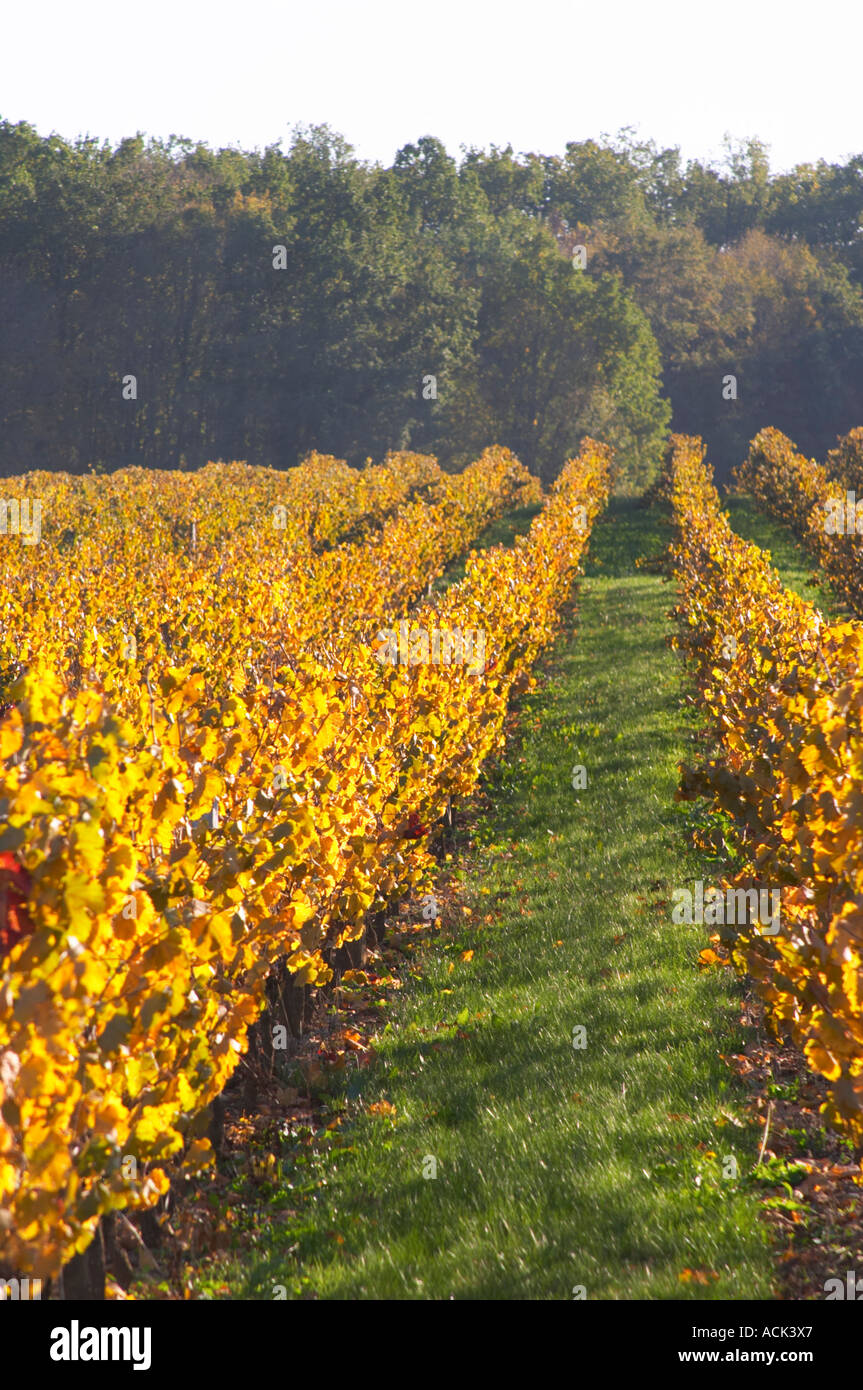 Autumn colours in the vineyard in late afternoon evening sunshine, red, brown, yellow leaves Domaine Vignoble des Stock Photo