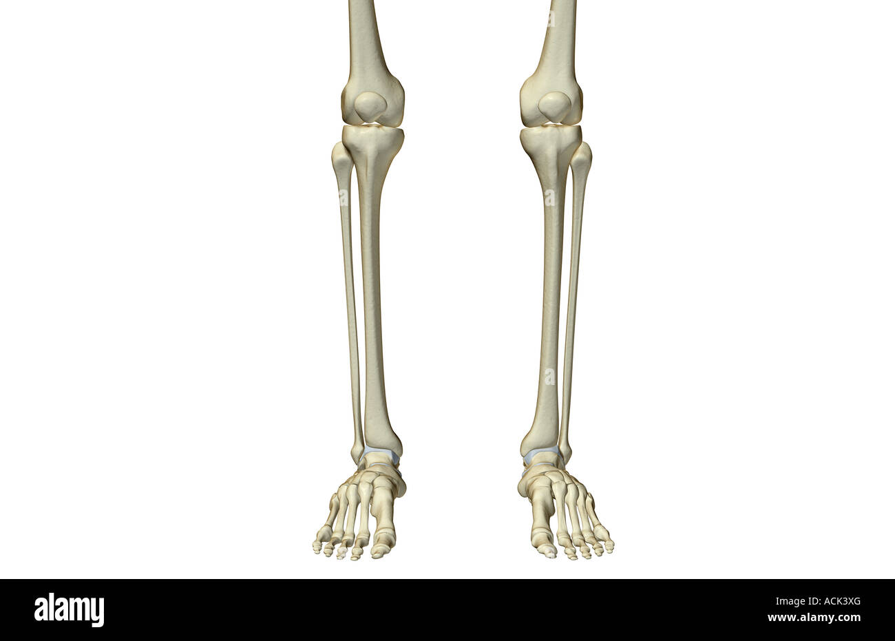 Patella Legs Skeleton Cut Out Stock Images Pictures Alamy