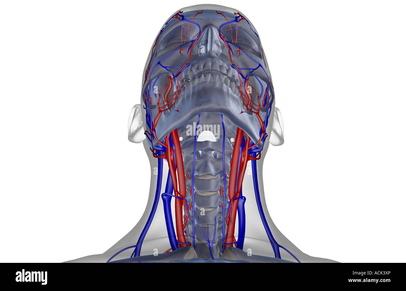 Anterior Jugular Vein Stock Photos & Anterior Jugular Vein Stock ...