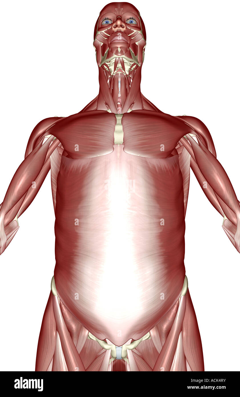 The Muscles Of The Upper Body Stock Photo 13175966 Alamy