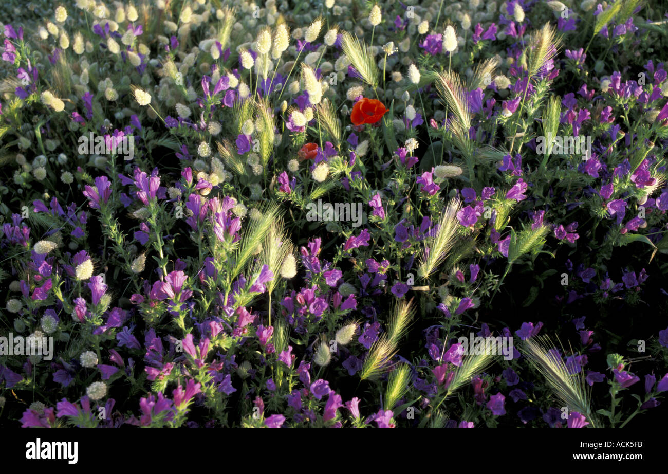 Viper s bugloss Poppies Grass growing at edge of barley field Chania Crete Greece - Stock Photo