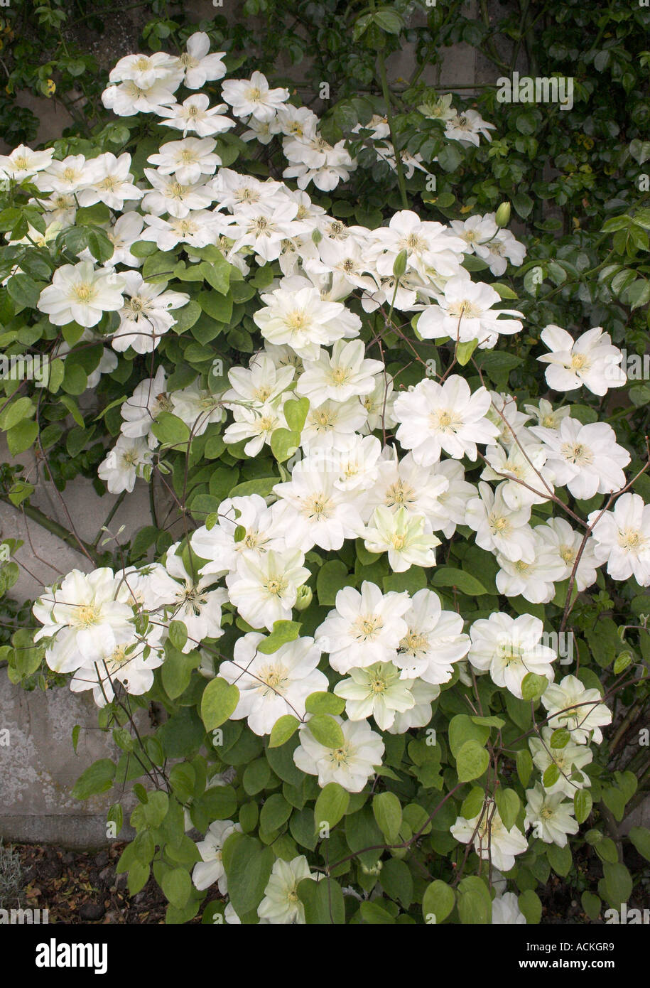 Clematis White With Cream Stems Flower Leaves Petals Creeper Hybrid