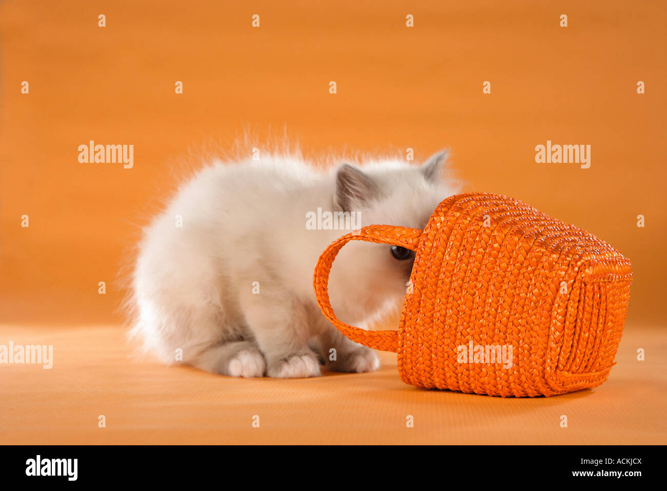 Sacred cat of Burma - kitten looking in a basket - Stock Image