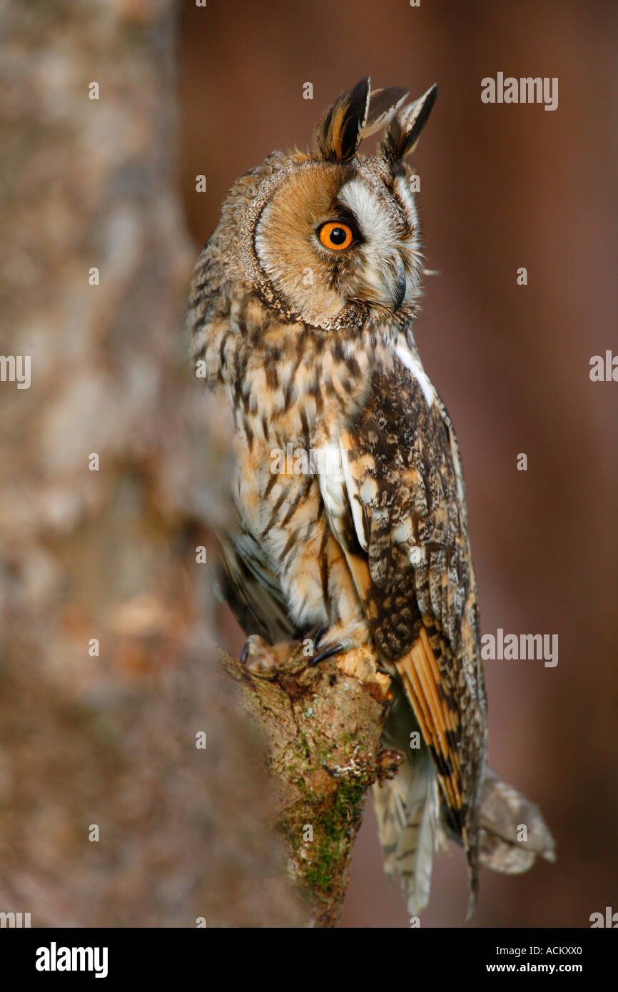 LONG EARED OWL Asio otus - Stock Image