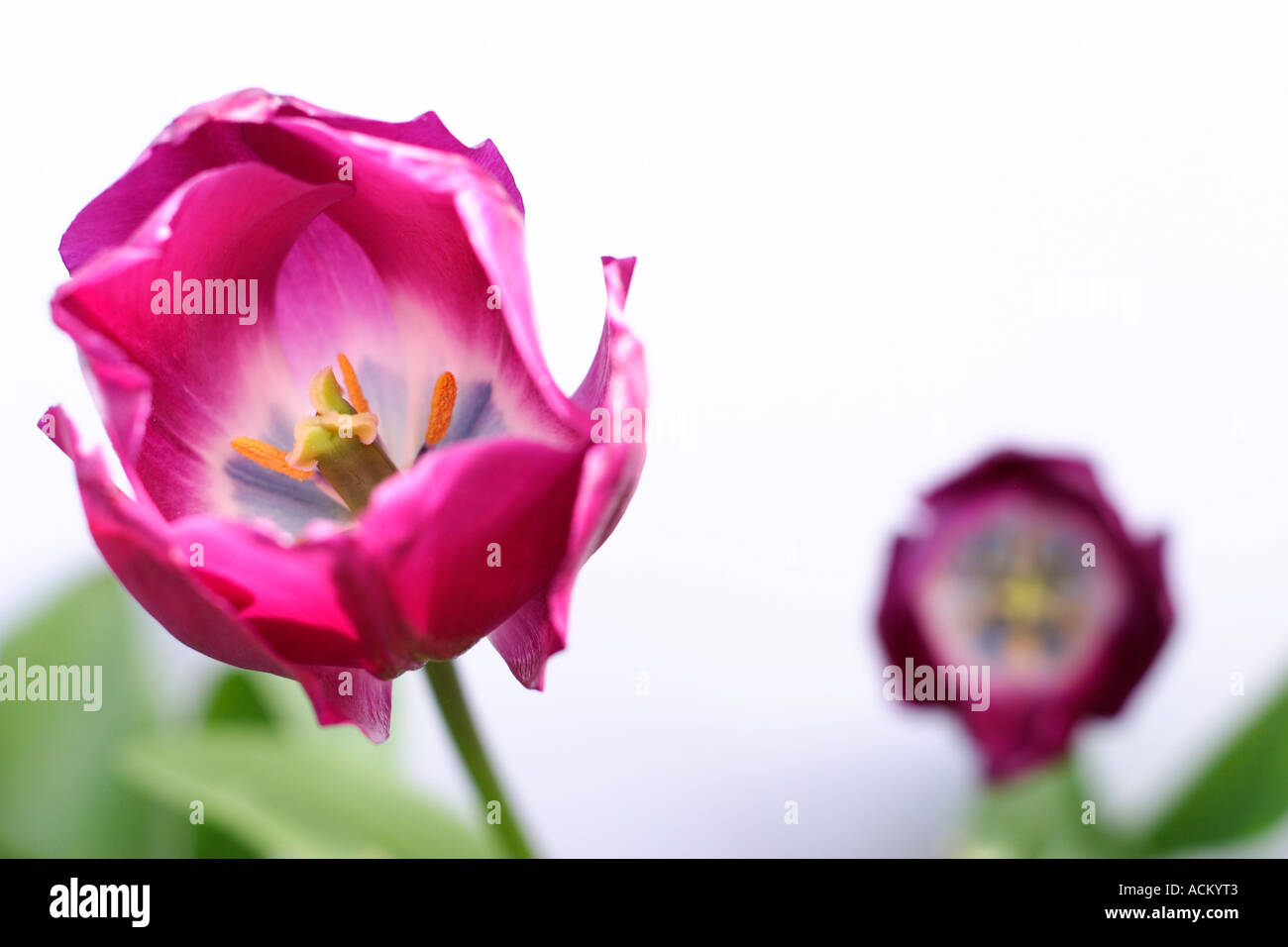 Two purple tulips against a white background with green leaves. Focus is on the tulip in the foreground. - Stock Image