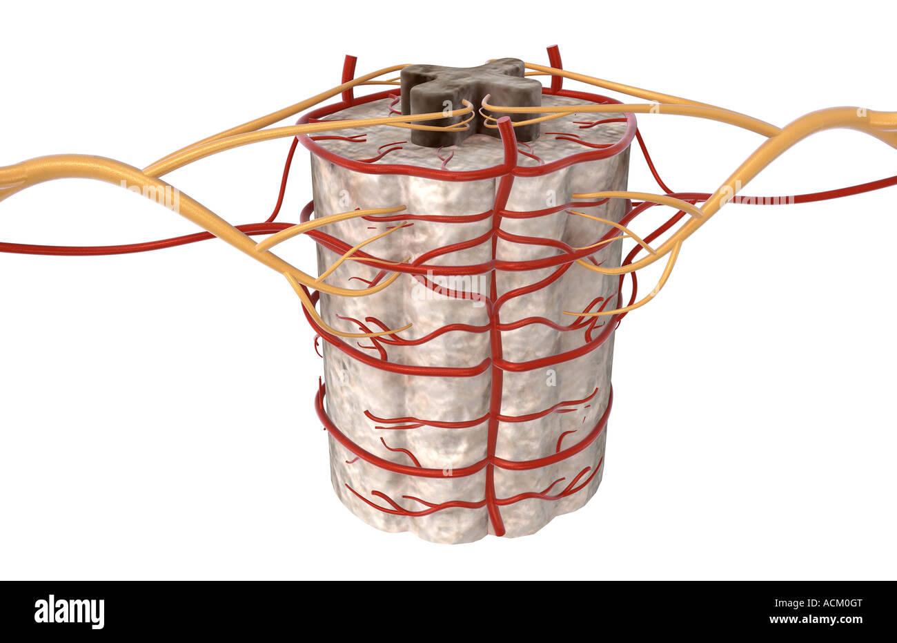 Spinal Arteries Stock Photo 13183943 Alamy