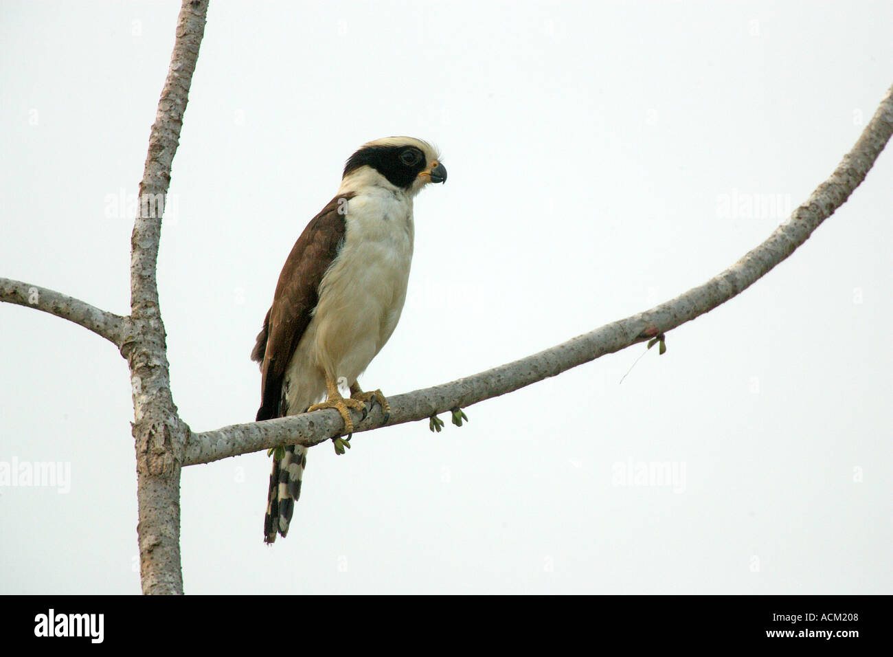 LAUGHING FALCON Herpetotheres cachinnans Stock Photo