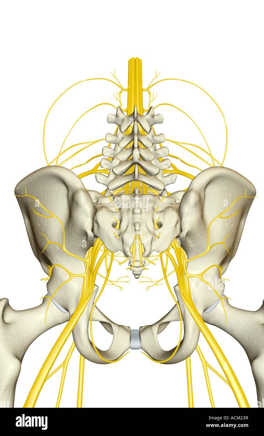 Nerve supply of the pelvis Stock Photo