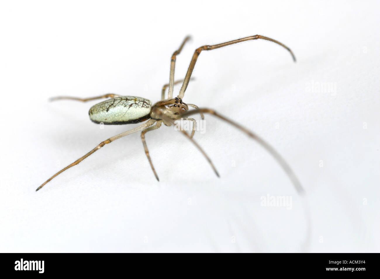 Small green stretch spider, Tetragnatha pinicola, on white background. - Stock Image