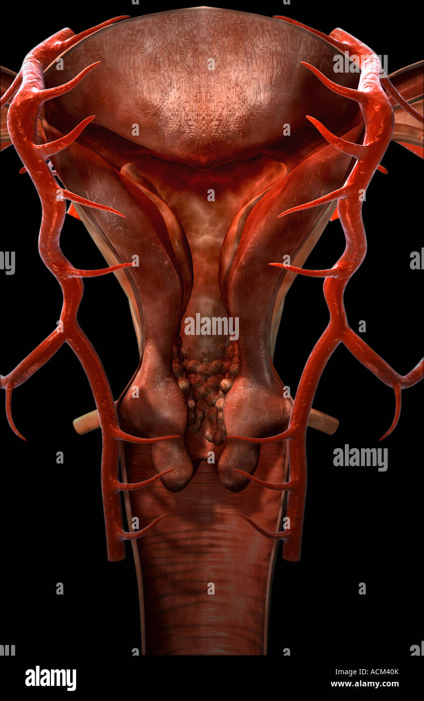 Female Reproductive System Stock Photos Female Reproductive System