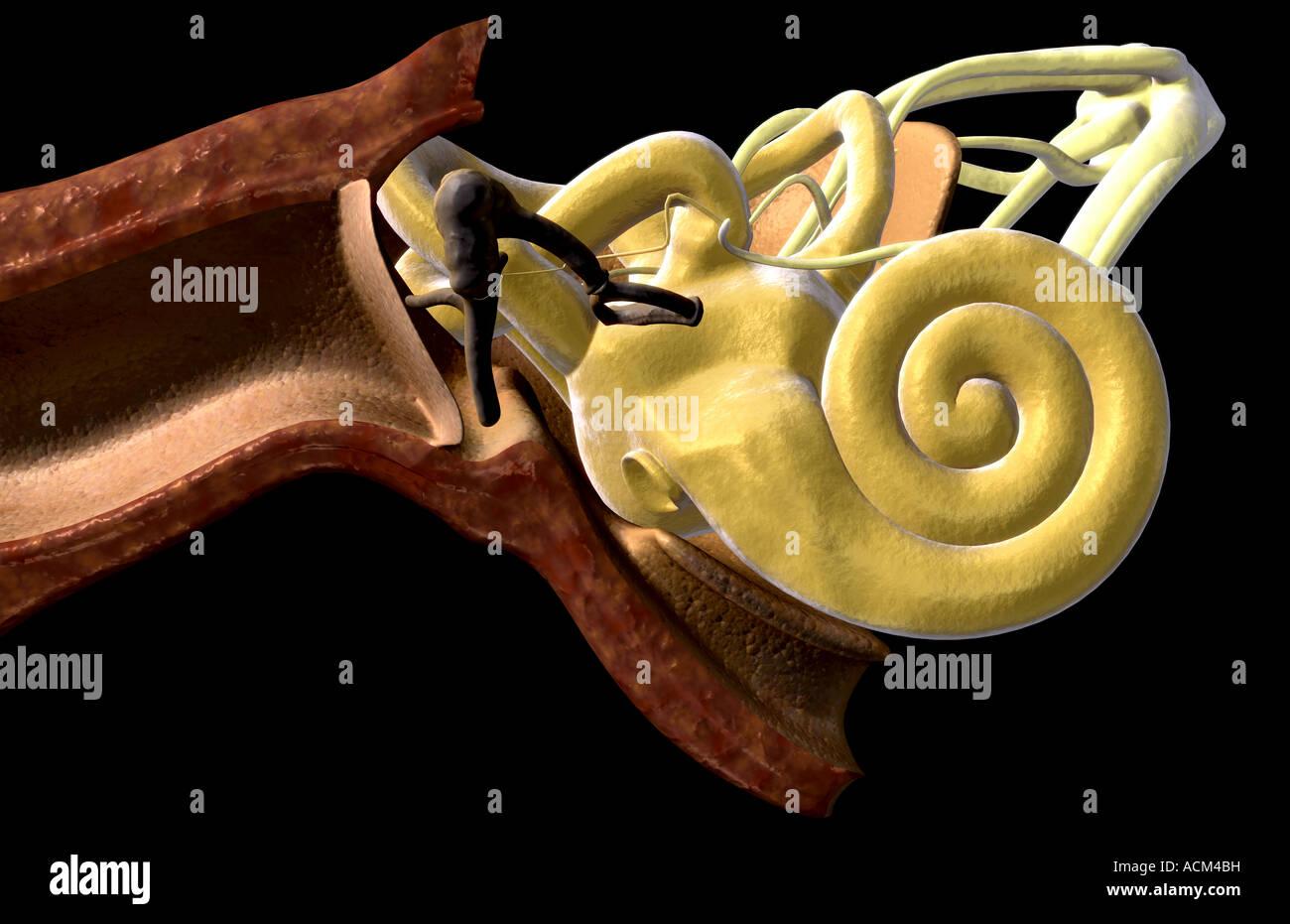 Inner Ear Anatomy Stock Photos Inner Ear Anatomy Stock Images