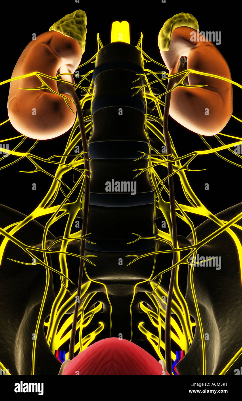 Nerve supply of the urinary system Stock Photo