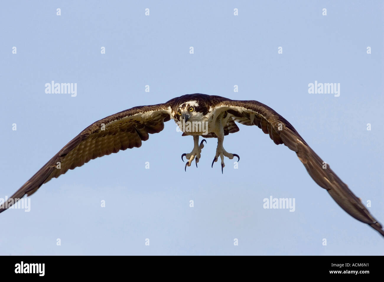 Osprey Pandion haliaetus in flight showing talons - Stock Image