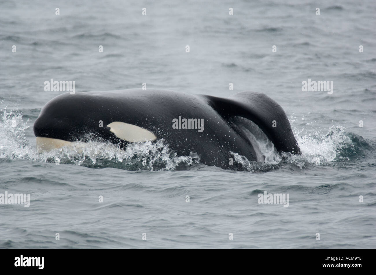 Killer Whale (Orcinus orca) Monterey Bay, California, Wild male with collapsed dorsal fin - Stock Image