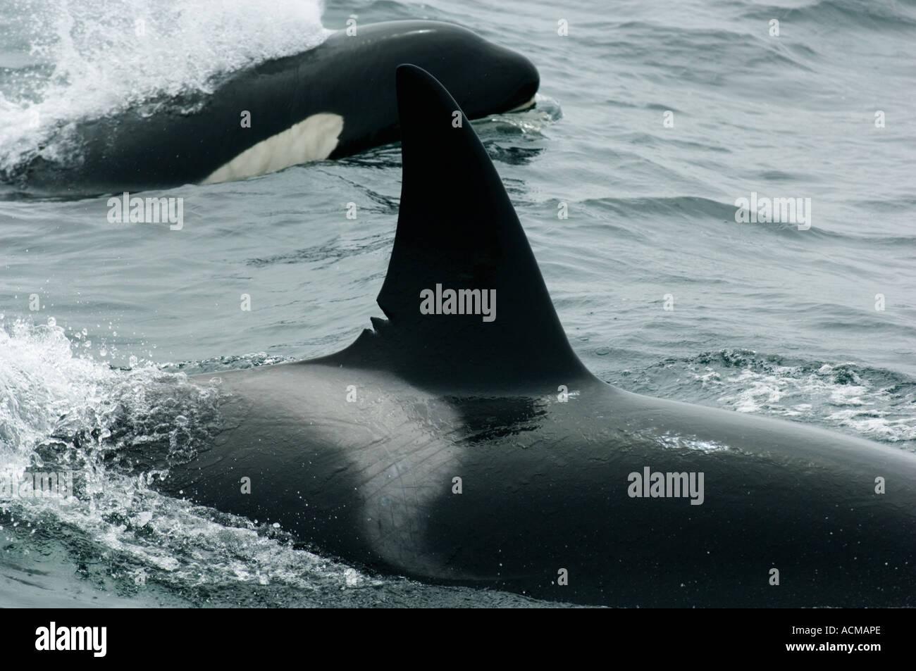 Killer Whale (Orcinus orca) Monterey Bay, California Stock Photo