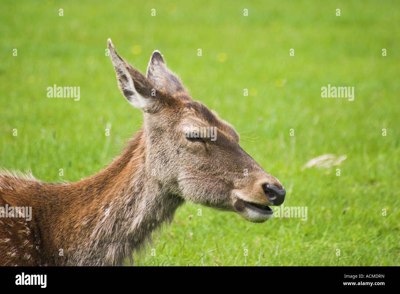 A doe a female deer Bunratty Folk Park Co Clare Ireland - Stock Image