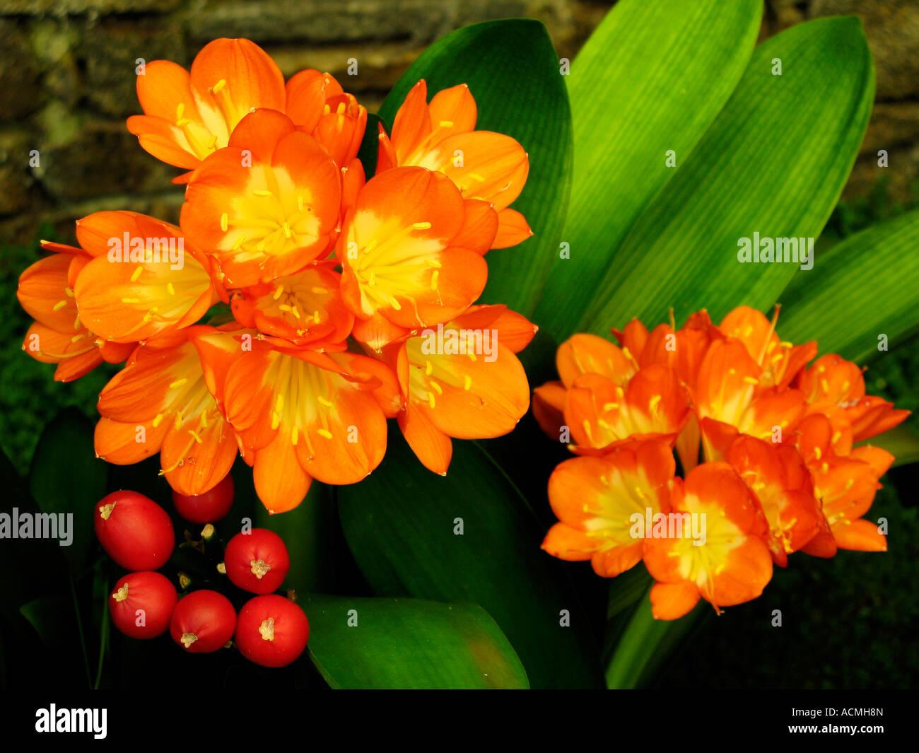 Kaffir lily Clivia miniata Regel, flower, France, Europe - Stock Image
