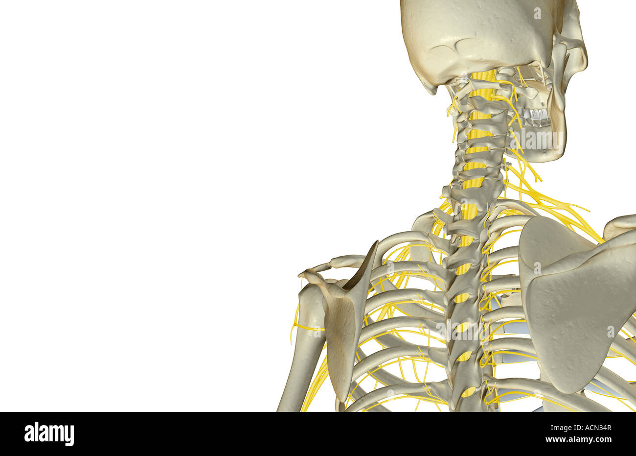 The nerves of the head and neck Stock Photo: 13194214 - Alamy