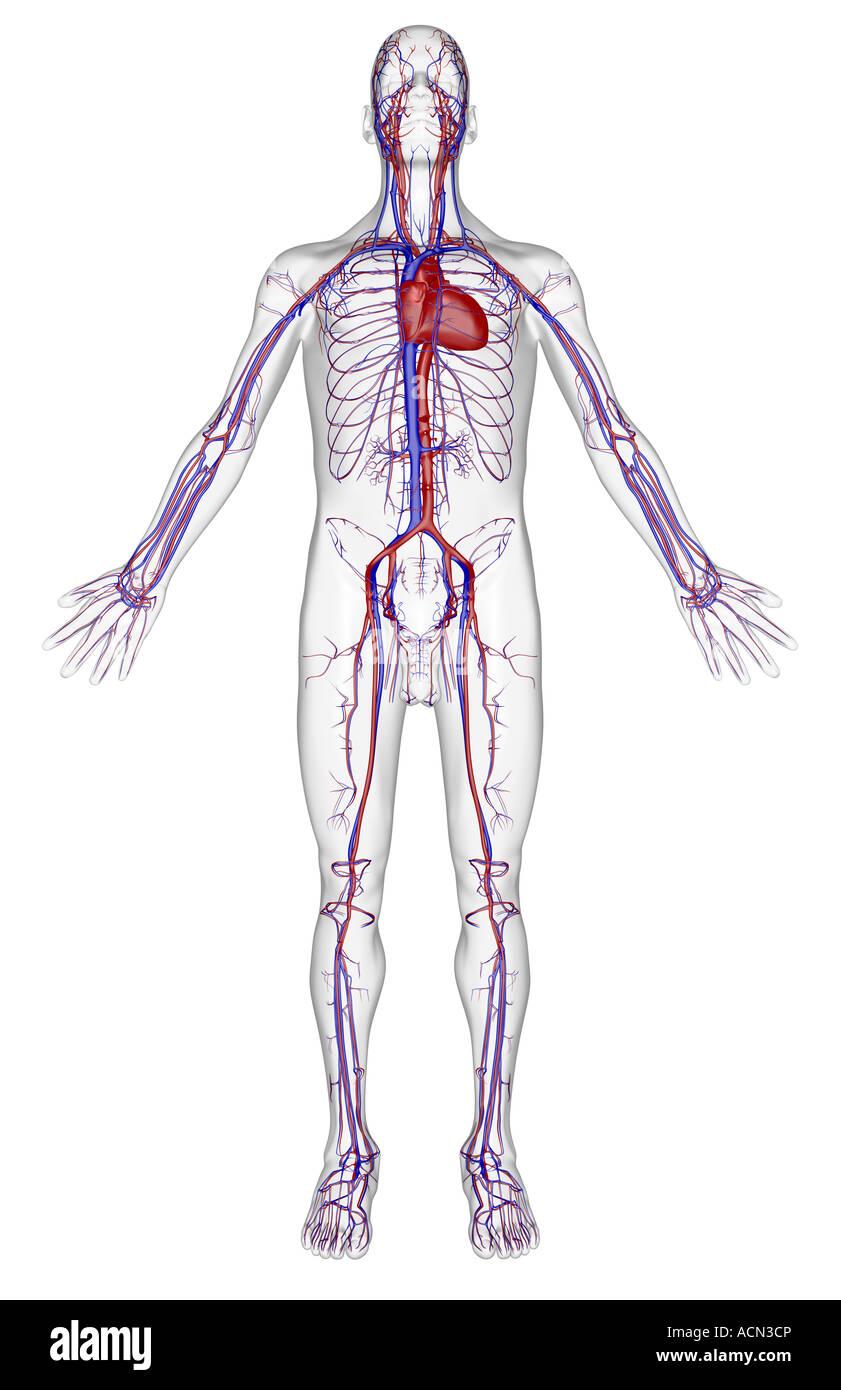 Vascular System Stock Photos Vascular System Stock Images Alamy